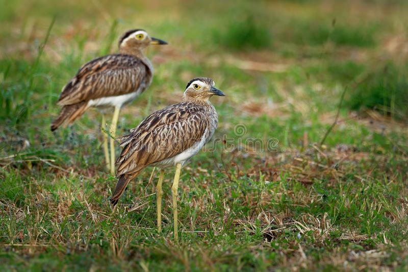 Double-striped Thick-knee - Burhinus bistriatus is stone-curlew family Burhinidae, resident breeder in Central and South America stock image