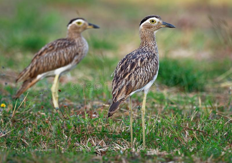 Double-striped Thick-knee - Burhinus bistriatus is stone-curlew family Burhinidae, resident breeder in Central and South America royalty free stock photo
