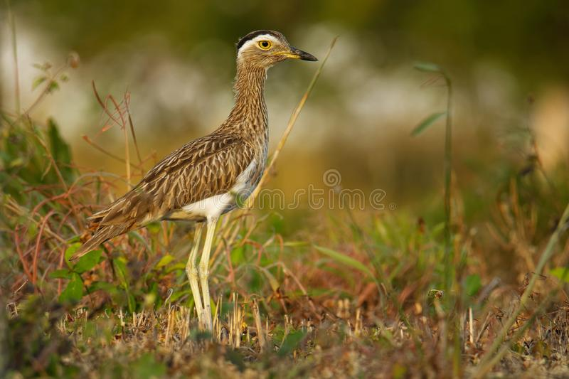 Double-striped Thick-knee - Burhinus bistriatus is stone-curlew family Burhinidae, resident breeder in Central and South America, royalty free stock photos