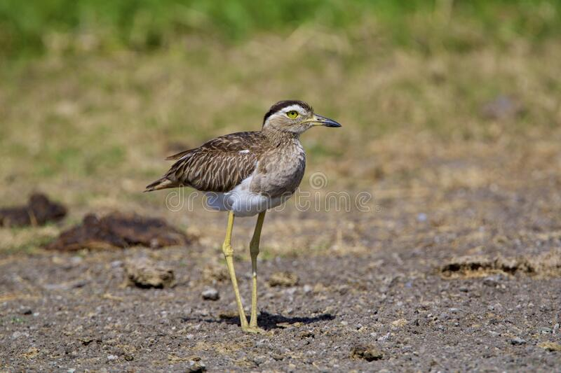 Double-striped Thick-knee  841106 royalty free stock photos
