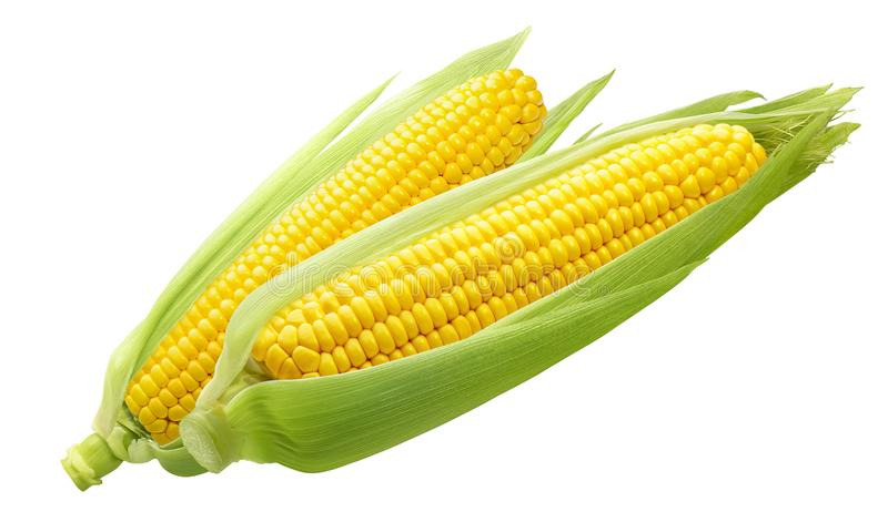 Double sweet corn ears isolated on white background stock photo