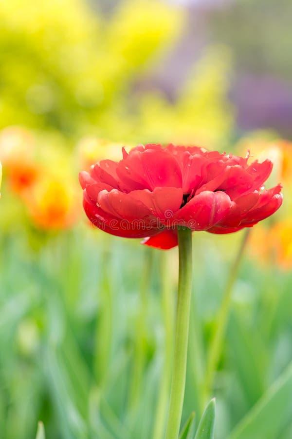 Double tulipe rouge photos libres de droits