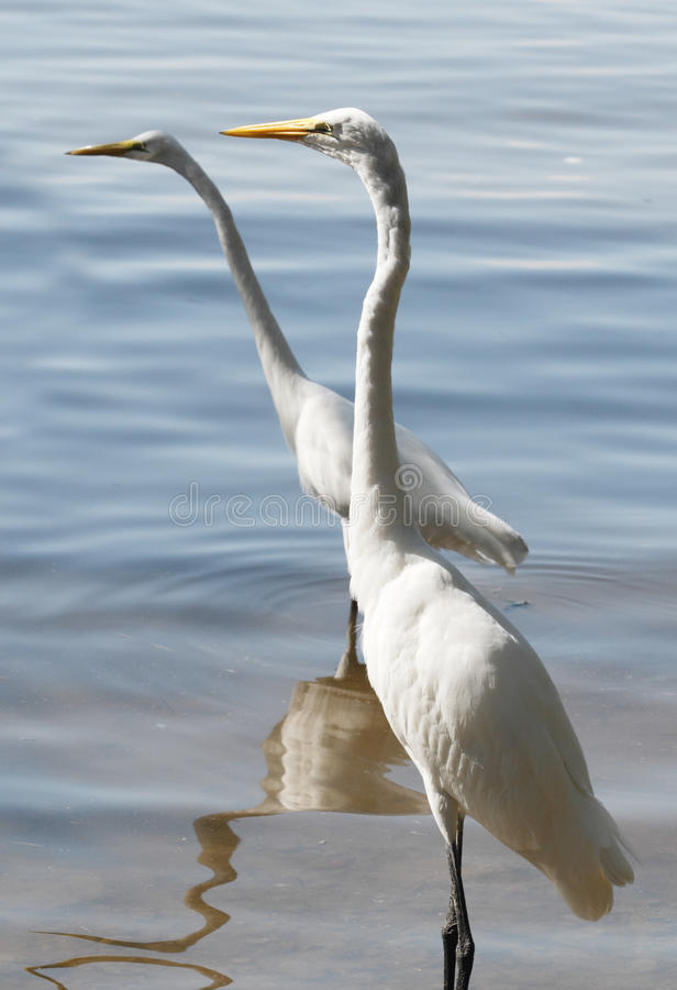Download Double visions stock image. Image of great, wading, avians - 19494001