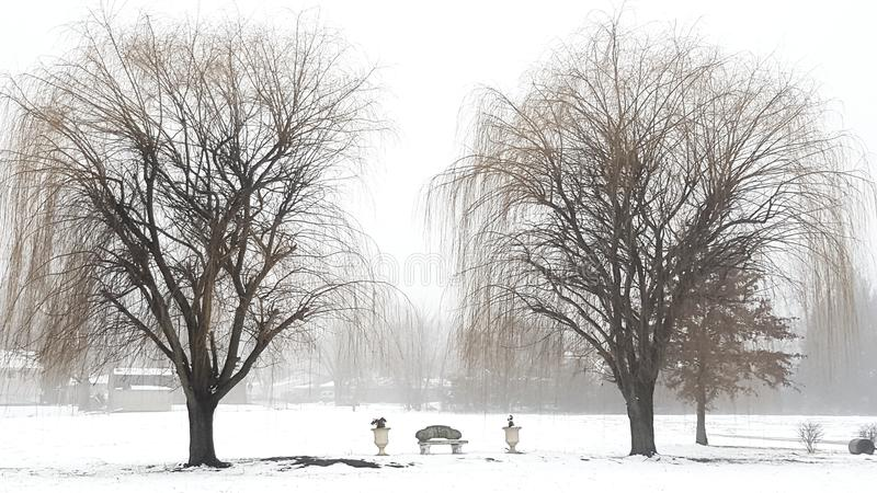 Double Weep. Weeping willows in the snow stock image