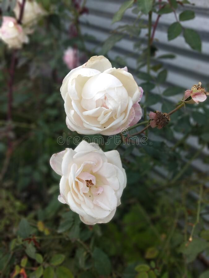 Double White Roses royalty free stock images