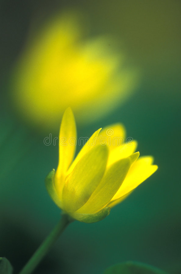 Double yellow royalty free stock photography
