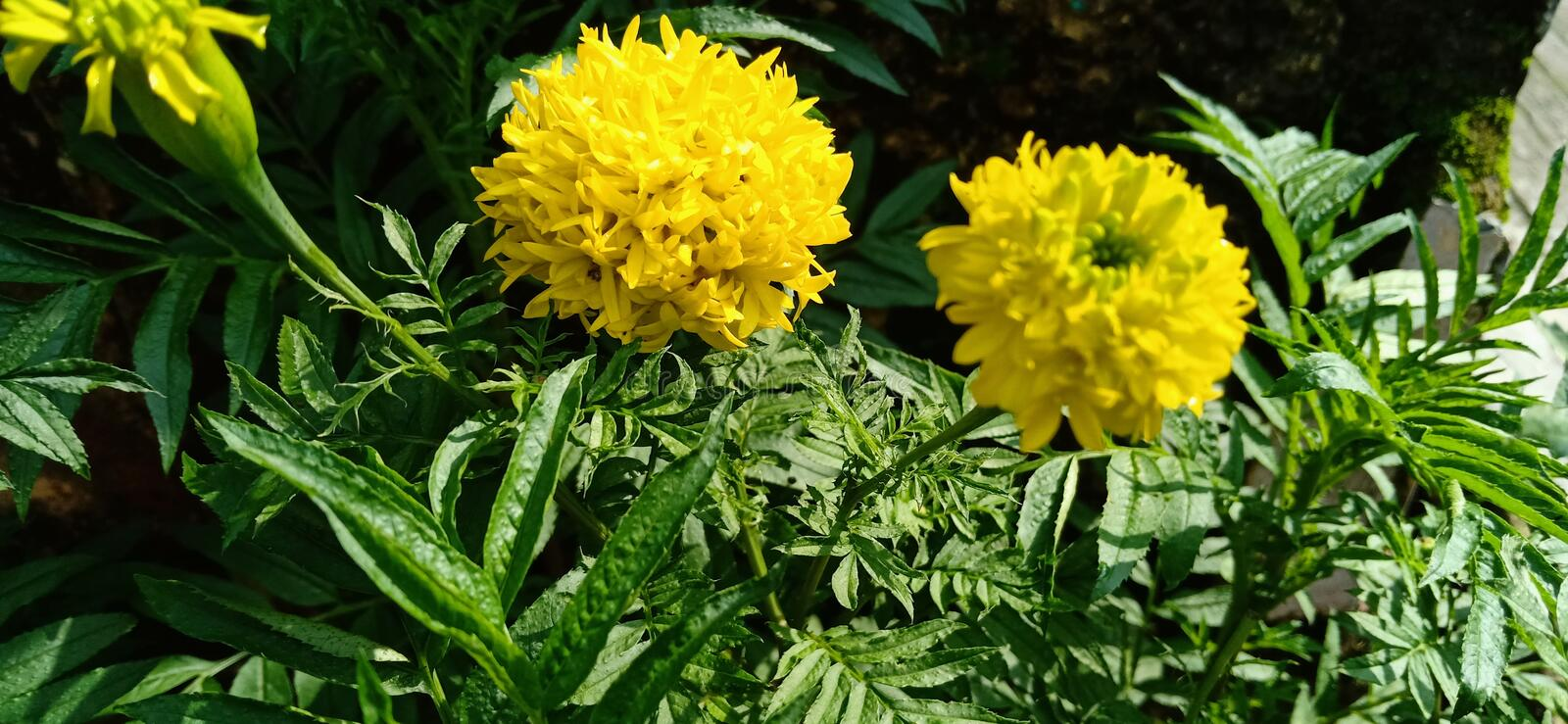 Double yellow aster at the morning royalty free stock photography