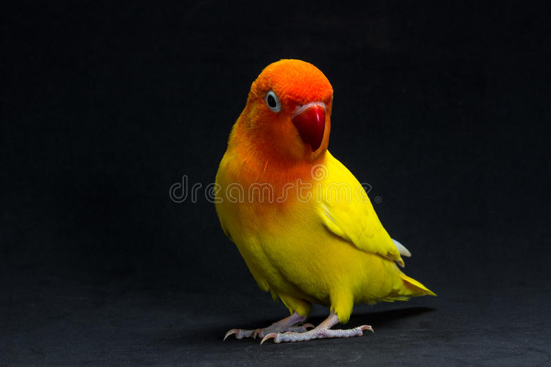 Double Yellow Lovebird, Bird stock image