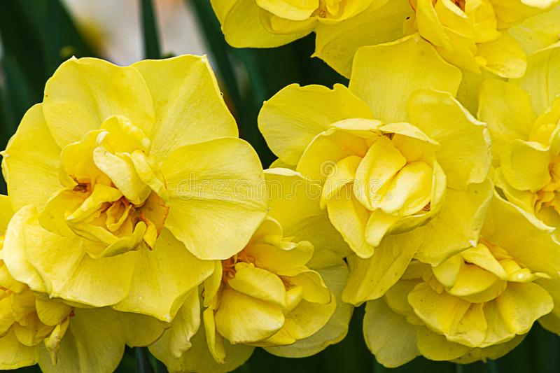 Double yellow narcissus variety blooming in sunshien with orange stamens. And leaves royalty free stock photos