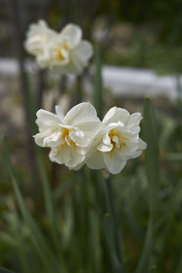Doubles fleurs de narcisse image stock
