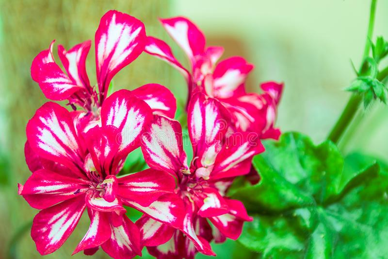 Doubles fleurs rouge foncé de pélargonium photo libre de droits