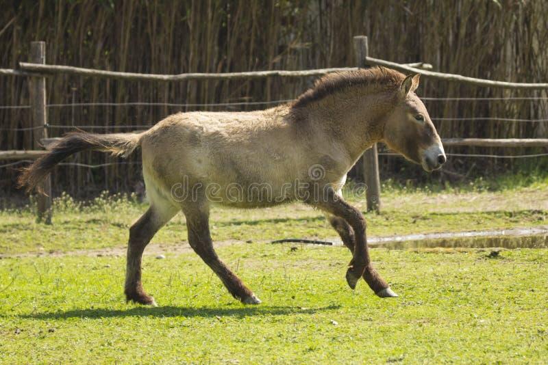 Doubles galops de poney photos stock