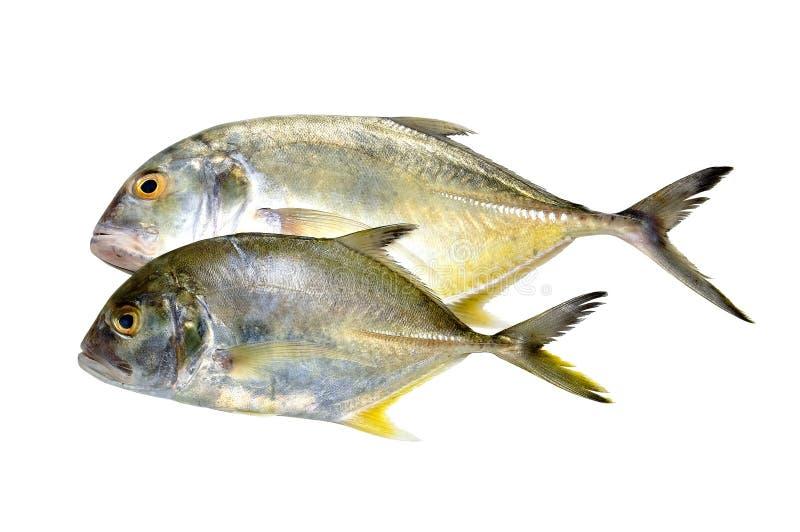 Doubles poissons frais image stock