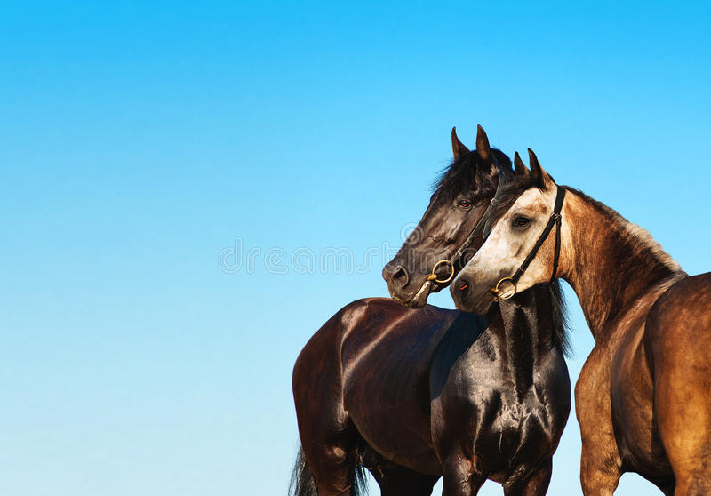 Doubles portrait black and light horse against the blue sky. Two horses stand side by side, nose to nose. Horse couple royalty free stock photos