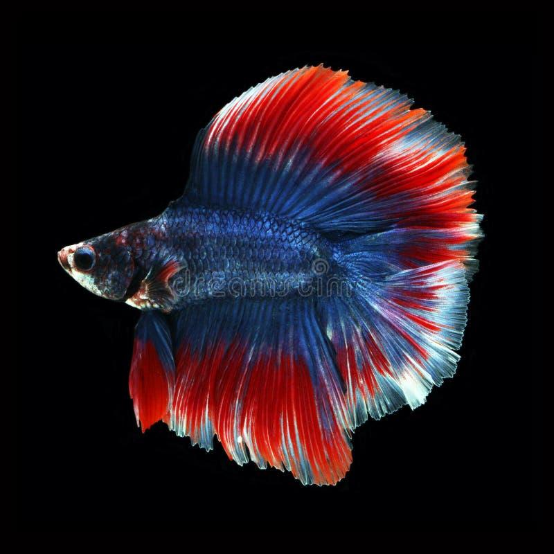 Doubletail Betta στο μαύρο υπόβαθρο όμορφα ψάρια στοκ εικόνες