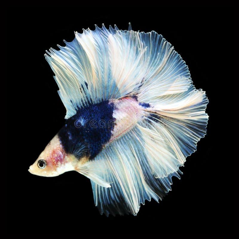 Doubletail Betta na czarnym tle cudowna ryba zdjęcie stock