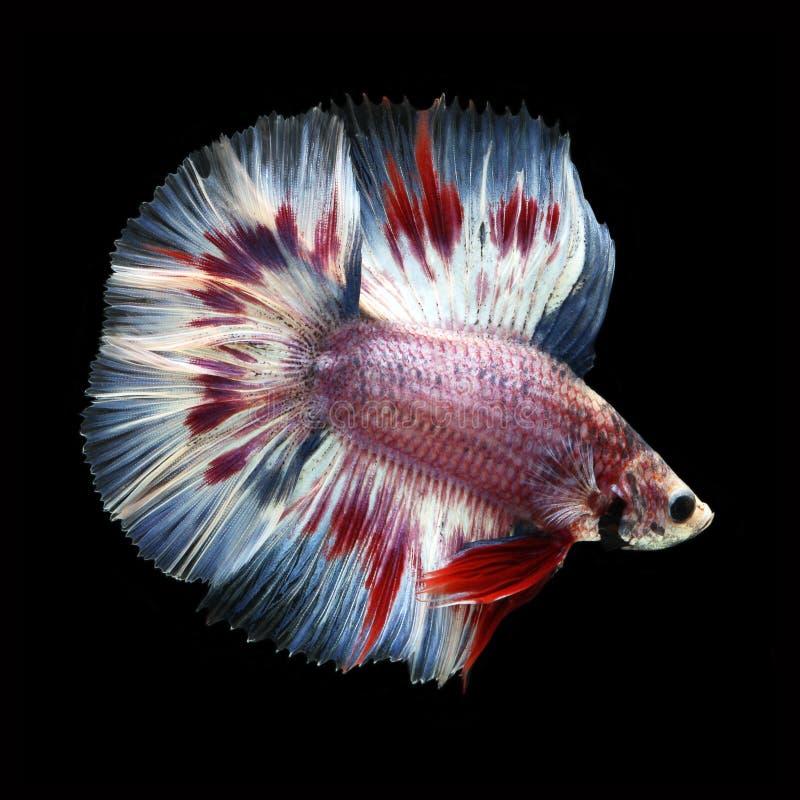 Doubletail Betta na czarnym tle cudowna ryba zdjęcia royalty free