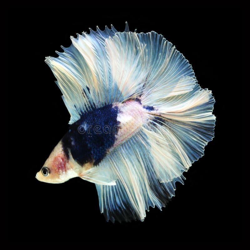 Doubletail Betta na czarnym tle cudowna ryba zdjęcie royalty free