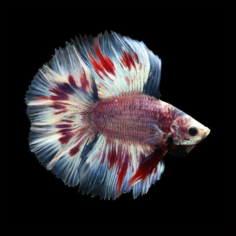 Doubletail Betta na czarnym tle cudowna ryba obrazy royalty free