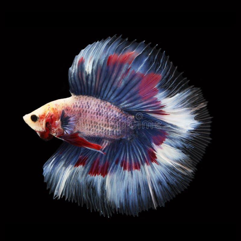 Doubletail Betta na czarnym tle cudowna ryba obraz royalty free