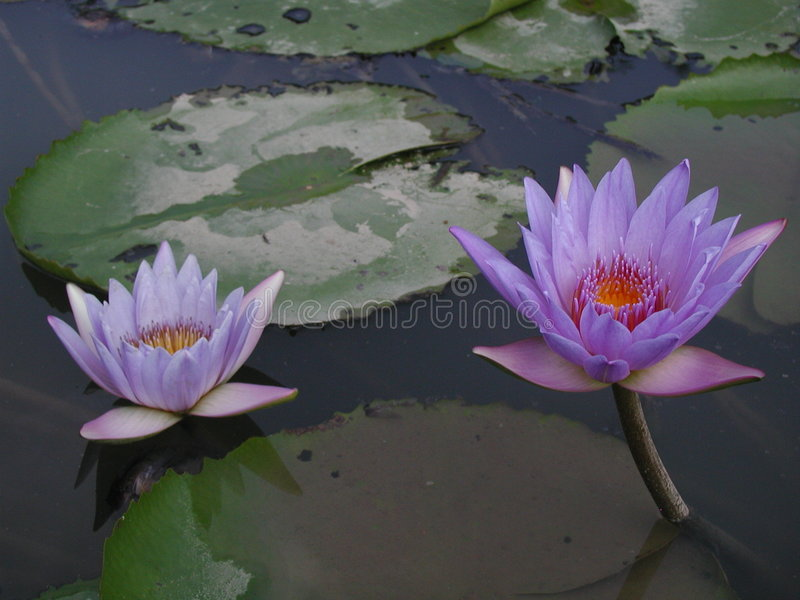 Doublez le lotus image stock