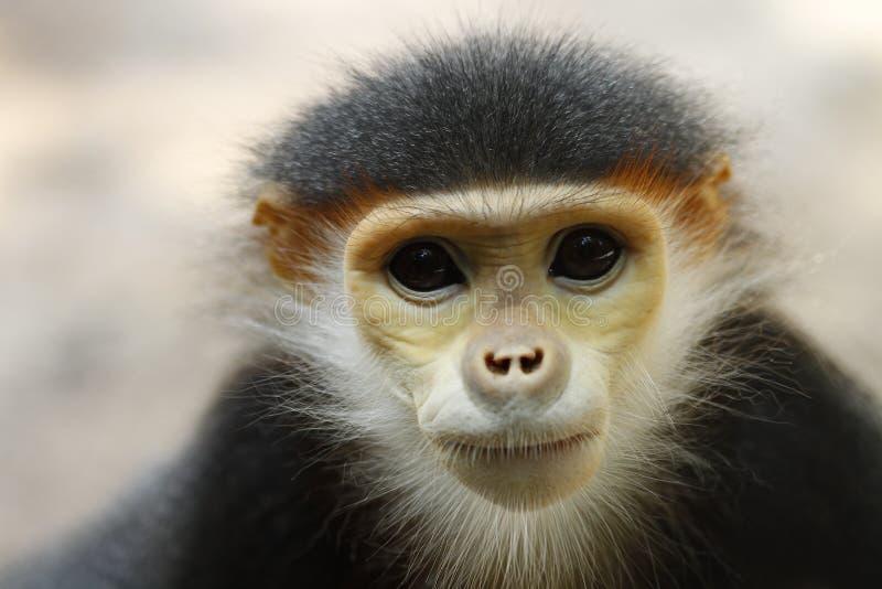 Download Douc Langur monkey stock photo. Image of watching, around - 25188034