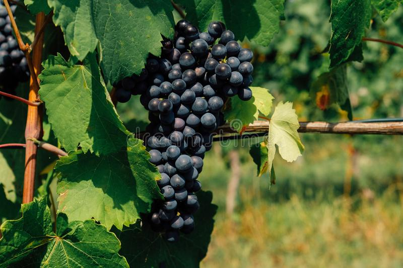 Douce noir grapes growing in italian vineyards. Beautiful blue grape cluster, close up. Copy space royalty free stock image