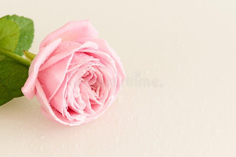 Doucement rose de rose avec des baisses de l'eau photo stock