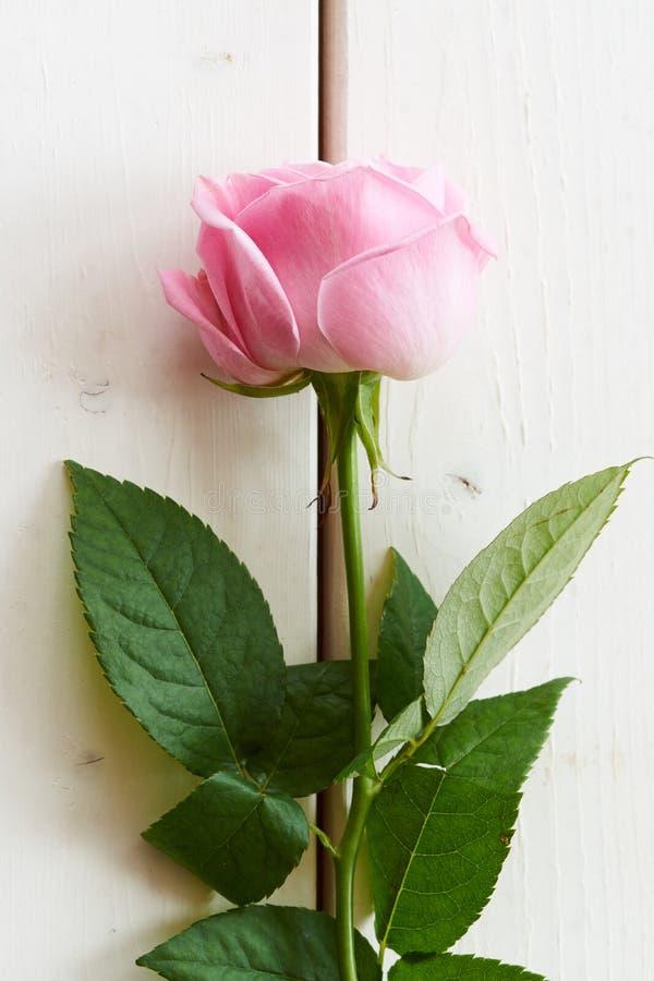 Doucement rose de rose sur le bois blanc image libre de droits