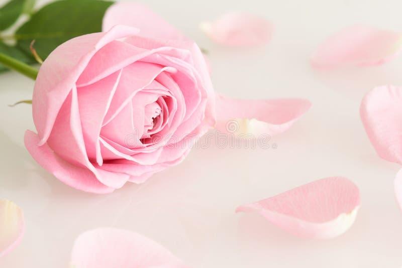 Doucement rose et feuilles de rose photo libre de droits