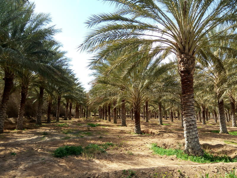Doucen oasis. Oasis in Doucen in the county of Biskra, Algeria royalty free stock photography