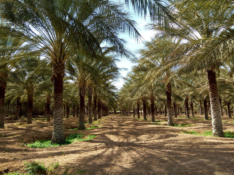 Doucen oasis. Oasis in Doucen in the county of Biskra, Algeria stock photo