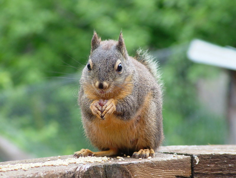 Douglas-Eichhörnchen stockfotografie