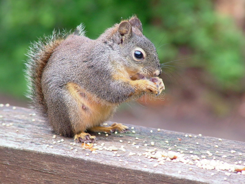 Douglas-Eichhörnchen-Frau lizenzfreies stockbild