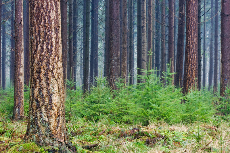 Douglas fir stock photo