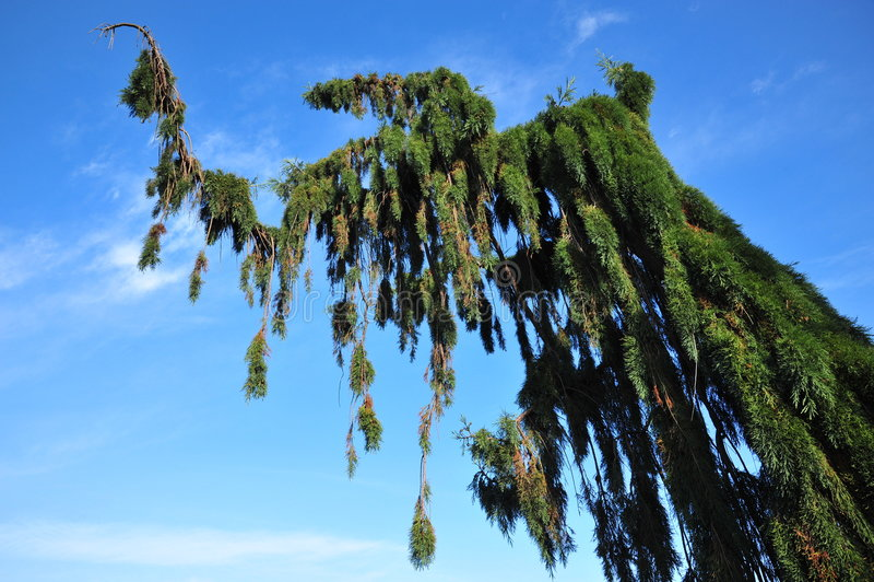 Douglas fir. Winding douglas fir in beacon hill park, victoria, british columbia, canada stock photo
