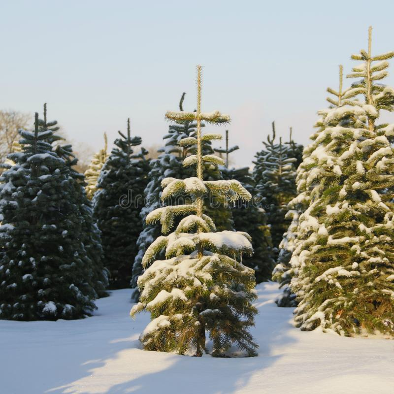 Free Douglas Fir, Christmas Tree Farm Covered In A Blanket Of Snow, A Winter Wonderland, Center Tree In Focus, Surrounding Trees In Sof Royalty Free Stock Photography - 140635187
