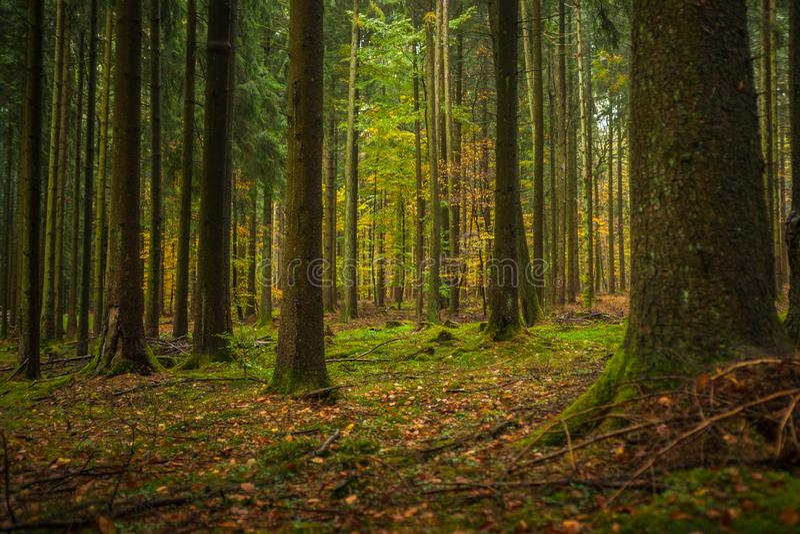 Douglas Fir Plantation Forest mûr en Allemagne photo libre de droits