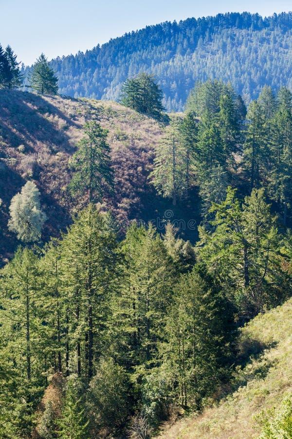 Douglas Fir Pseudotsuga menziesii trees on the hills of San Francisco bay peninsula, California stock images