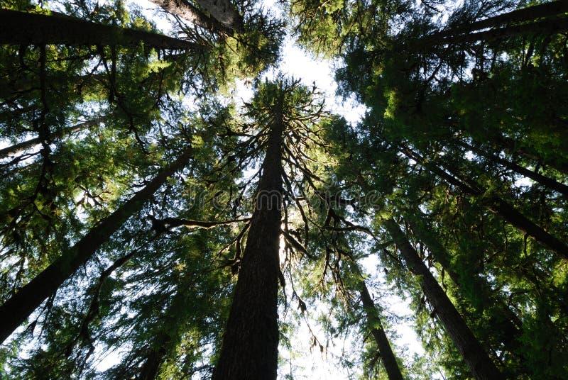 douglas fir tall στοκ φωτογραφίες με δικαίωμα ελεύθερης χρήσης