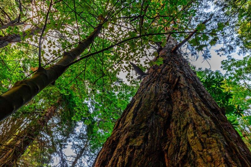 A Douglas Fir Tree Towers Above stock photo