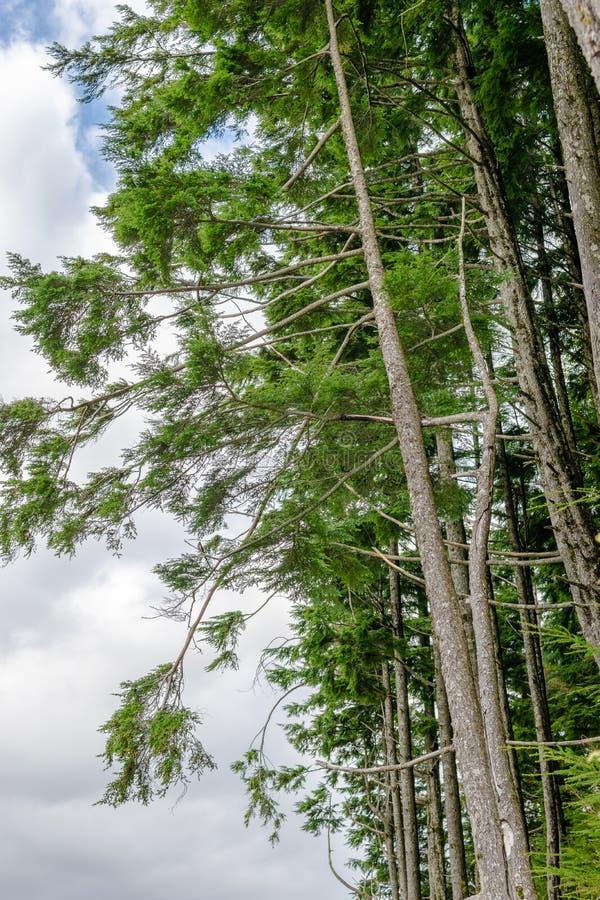 Douglas Fir Trees alto sul fianco di una montagna fotografia stock libera da diritti
