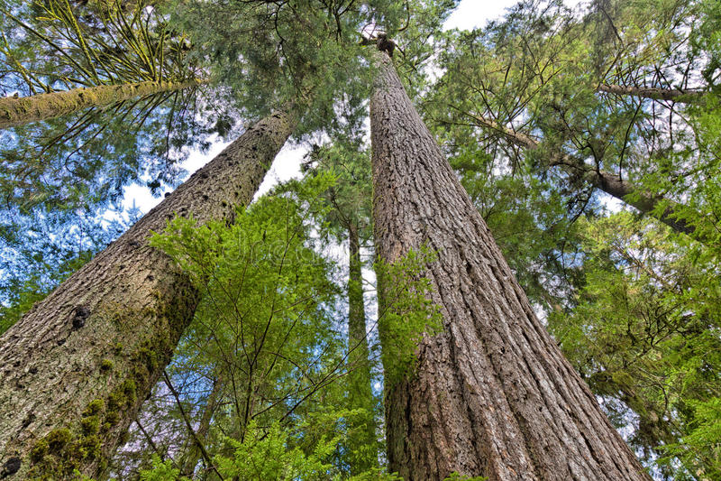 Douglas jodły las zdjęcie stock