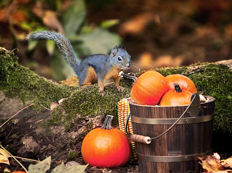 Douglas`s Squirrel Bucket of Pumpkins. A Douglas`s Squirrel on moss covered log near wood bucket of tiny pumpkins.The Douglas squirrel Tamiasciurus douglasii is