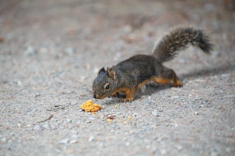 Douglas Squirrel photos libres de droits