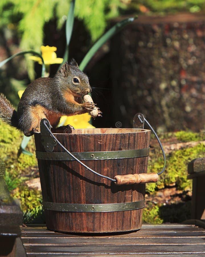 Douglas Squirrel Eating Peanut vom Eimer lizenzfreie stockfotos