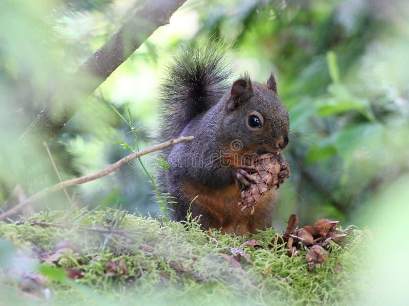 Douglas Squirrel mit einem Tannenzapfen stockfotos