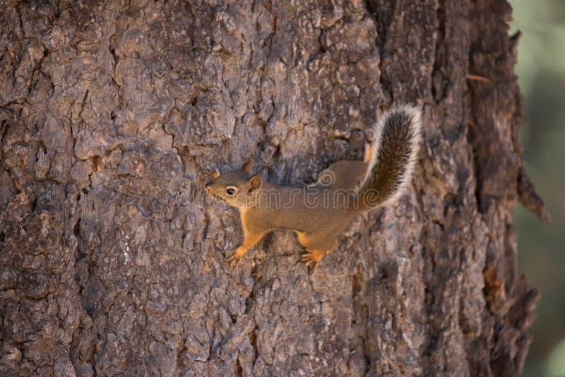 Douglas Squirrel (ou chickaree) images stock