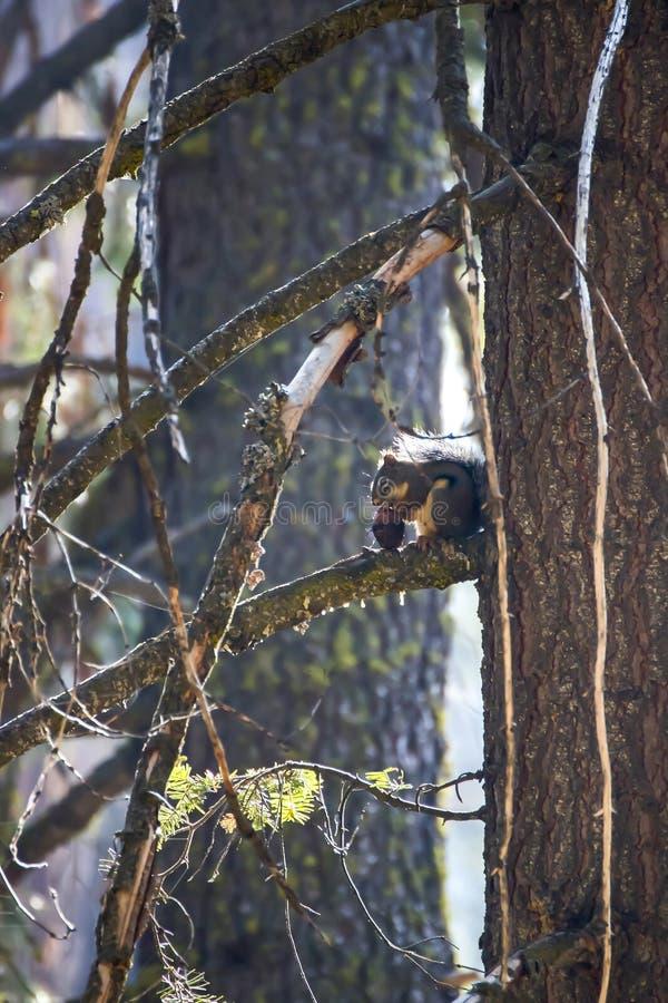 Douglas Squirrel ou Chickaree mangeant le cône de pin dans la forêt photos libres de droits