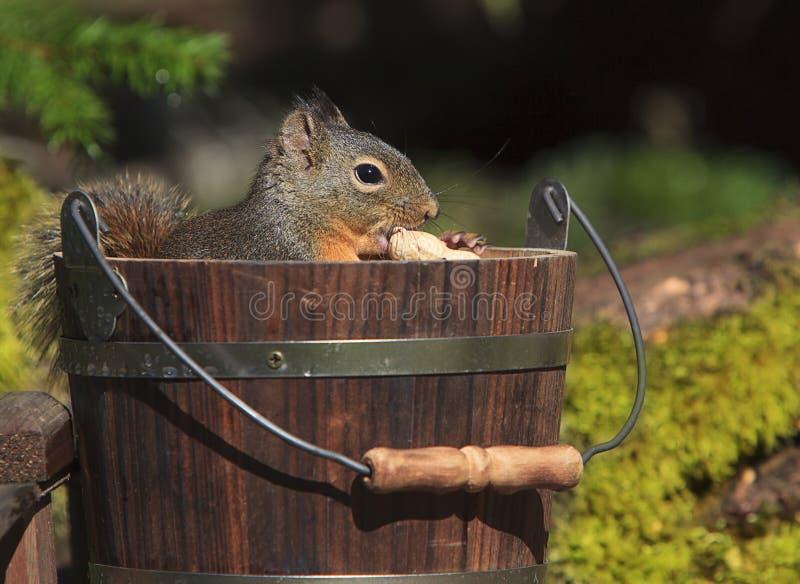 Douglas Squirrel Sitting im hölzernen Eimer stockfoto
